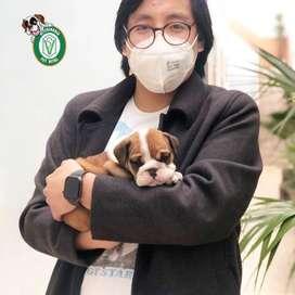 Bulldog INGLES CACHORROS EN PET VITAL