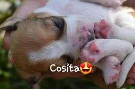 venta de perros beagle 2 meses
