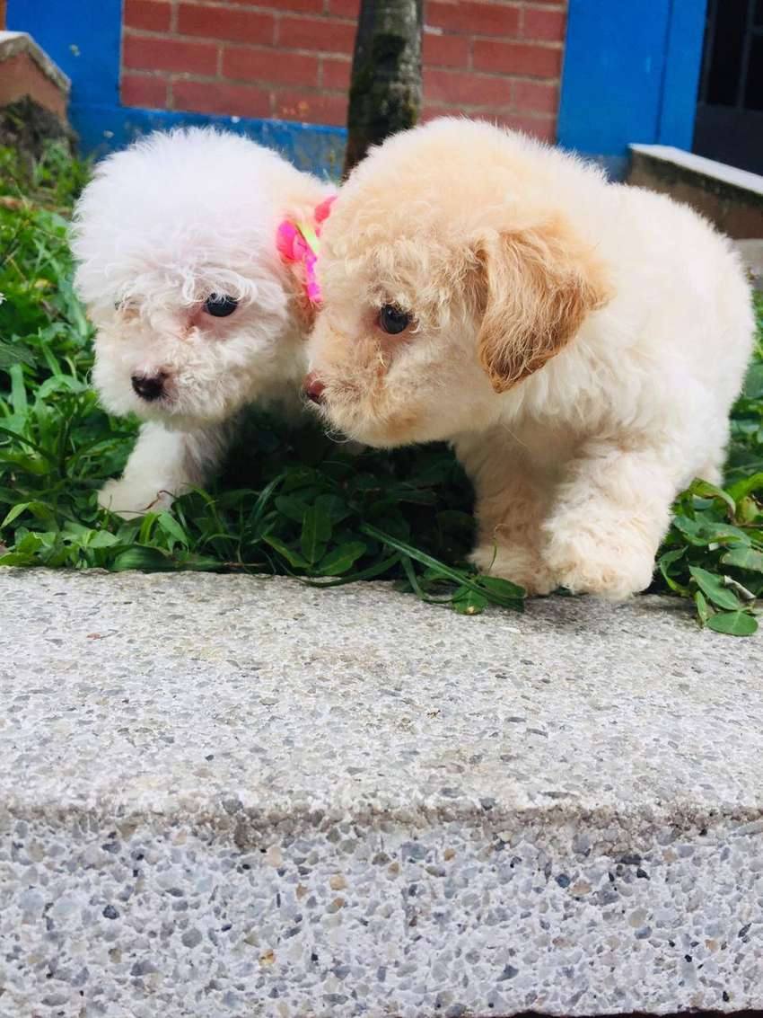 Minitoy French Poodle Hermosos 0