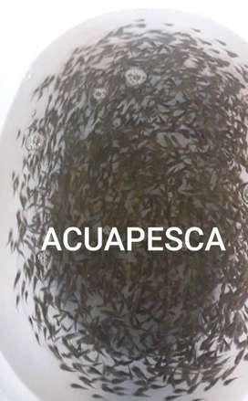 ALEVINES DE TILAPIA ROJA, PLATEADA O GRIS, ALEVINES DE TRUCHA