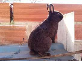 Conejos reproducto 8 meses cruza con enano para mascot