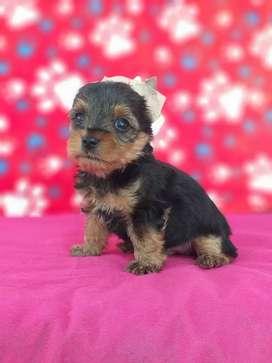 Excelentes cachorros yorkie terrier de muy buena genetica