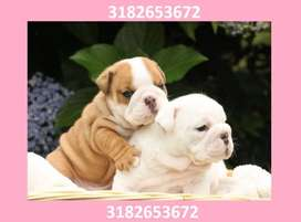 cachorritos bulldog ingles