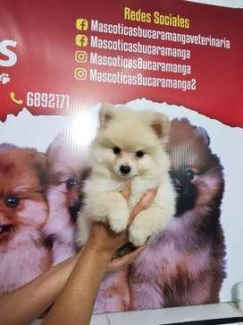 Autenticos caninos pomerania lulú