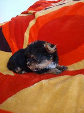 Cachorro yorky terrier