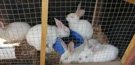 Conejos para mascota y reproducción