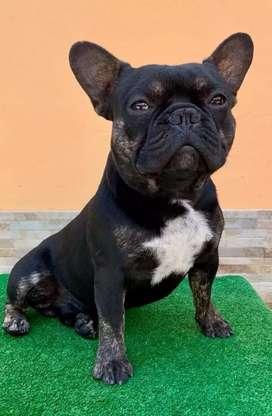 MONTA Bulldog francés Black and tan con carga Blue