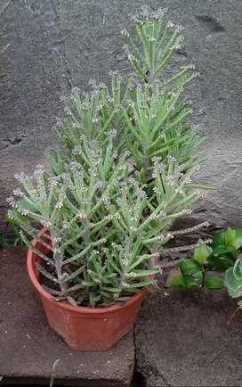 Plantines Kalanchoes