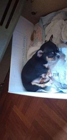 Vendo Chihuahua Mini