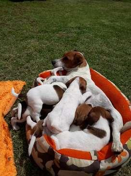 Únicos Jack Rusell Terrier súper genética