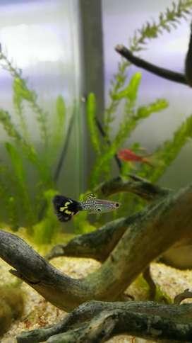Venta de peces Guppy