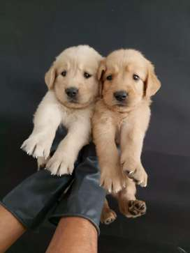 Indicados golden retriever agradables