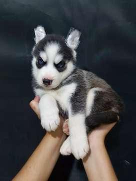 Caninos husky de las mejores lineas de sangre en padres