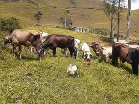 VENTA DE GANADO ECONOMICO 20 ANIMALES