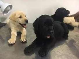 Labradores negros ambos sexos disponibles  y puros