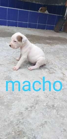 Se venden perros pitbull