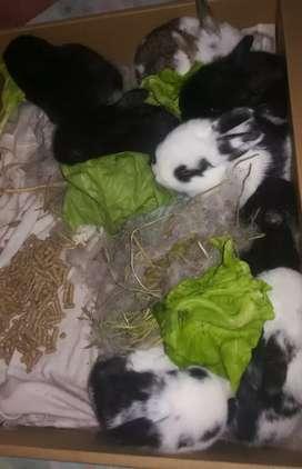Vendo hermoso conejito ideal para mascota de nuestro niños