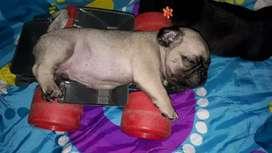 Cachorros de pug Carlinos machos disponibles