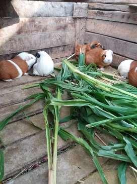 Riquísimos cuyes nutritivos  alimentados sólo con panca y alfalfa