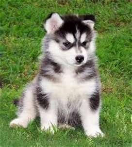 disponemos para envio inmediato contra entrega de la raza husky lobo siberiano