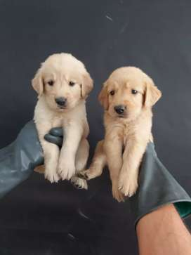 Fieles amigos golden retriever