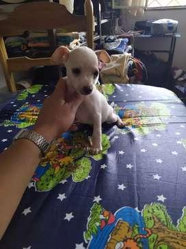 Lindo perrito Pincher vaquita