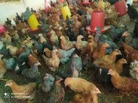 Pollas de 17 semanas