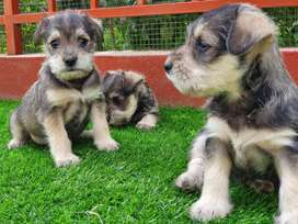Schnauzer Toy Cachorros
