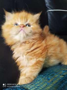 Gato persa dorado de dos meses tipo Garfield