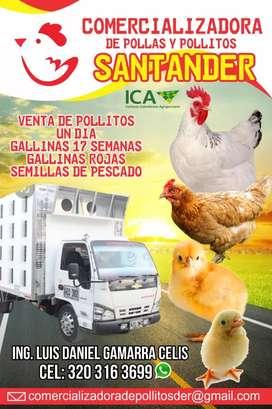 Pollo polltas semilla pisco