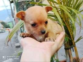 CHIQUI CHIHUAHUA CHIQUITOS Tenemos los mas bello cachorro con garantia de pureza 100%, niñas y niños con todas sus vacun