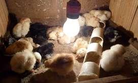 Venta de pollitos