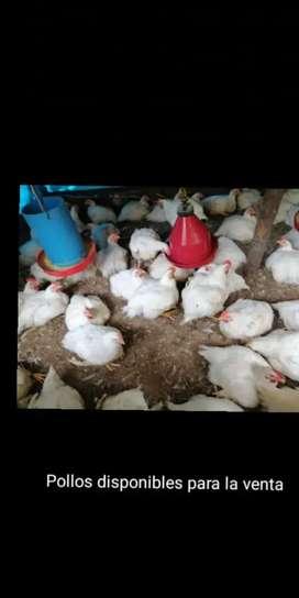 Venta de pollos de engorde caseros campesinos