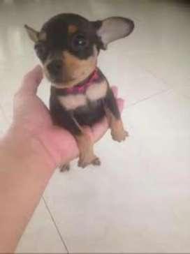 Chikiticos cachorros mini pincher minis