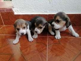 Pati corticos Beagles enanos