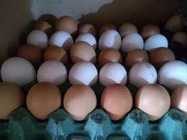 Huevos fértiles