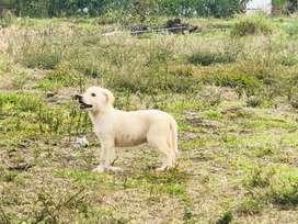 Cachorrita labrador
