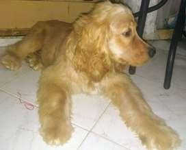 Cachorro Cocker Spaniel