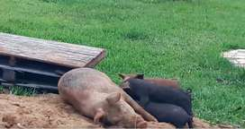 Venta de carne de cerdo y lechones