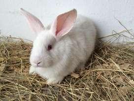 Conejos Nueva Zelanda en Bogota