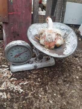 Vendo pollos broiler de 5 y 6 libras