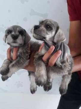 Cachorritos Schnauzer en disponibilidad machos y hembras