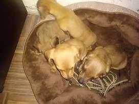 Lindos Cachorros Teckel (Salchicha)