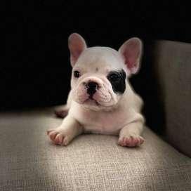 Bulldog Frances Pirata (blanco con negro), 55 dias.