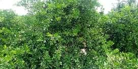 Vendo parcelas 5.25. Ha cultivo limon 900 plantas
