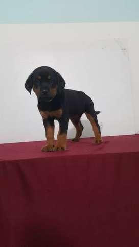 Rottweiler muy bellos y hermosos vacunados y desparasitados