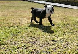 Bulldog ingles  exotic