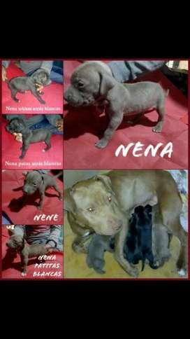 Vendo Cachorros Pitbull 4 Nenas Y 2 Nene