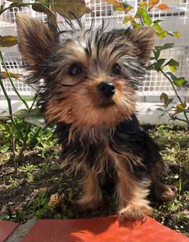 Vendo yorkshire Terrier mini