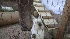 Conejo californiano puro
